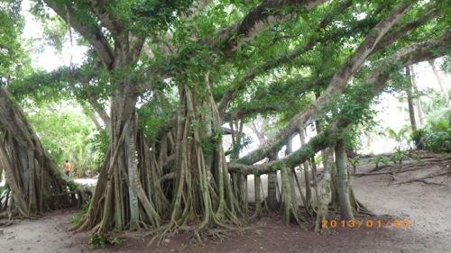 サイパン格安旅行の旅 2日目 マニャガハ島 樹木