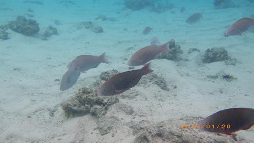 サイパン格安旅行の旅 2日目 マニャガハ島 海の中3