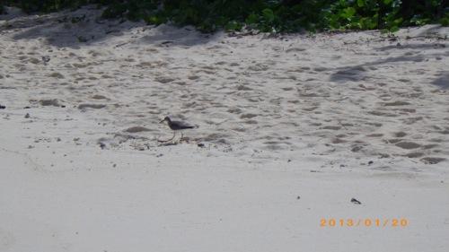 サイパン格安旅行の旅 2日目 マニャガハ島 鳥